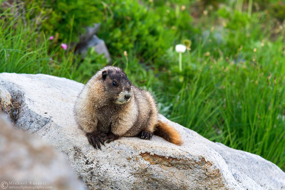 A Hoary Marmot (Marmota caligata) resting on rocks along the Golden Gate Trail in the Paradise area of Mount Rainier National Park in Washington State, USA
