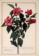 Hibiscus syriacus (rose mallow) 17th century hand painted on Parchment botany study of a from the Jardin du Roi botanical Florilegium of Prince Eugene of Savoy collection, Paris c. 1670 artist: Nicolas Robert