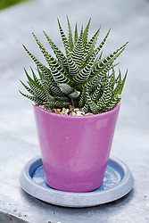 Haworthia attenuata - Zebra plant, cactus in a pink glazed pot