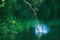 A proboscis monkey swings into a river when its flying leap falls short..Kinabatangan Wildlife Sanctuary, Borneo Island.
