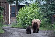 Bear 132 and her spring cub walk down a road near Lake Brooks in Katmai National Park, Alaska
