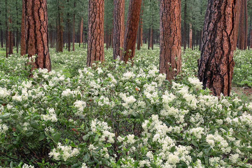 Flowering snowbush plants (ceanothus velutinus) cover the floor of a ponderosa forest below Black Butte, in Central Oregon.