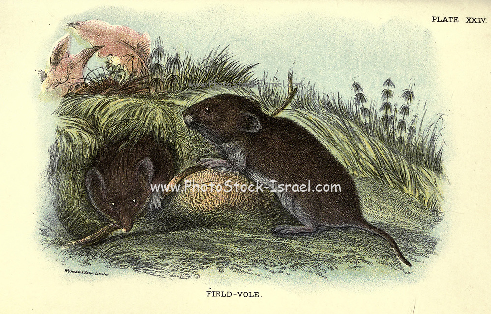 The short-tailed field vole, short-tailed vole, or simply field vole (Microtus agrestis) is a grey-brown vole, around 10 cm in length, with a short tail. It is one of the most common mammals in Europe, with a range extending from the Atlantic coast to Lake Baikal. These voles are found in moist grassy habitats, such as woodland, marsh or on river banks. Although they make shallow burrows, From the book ' A hand-book to the British mammalia ' by  Richard Lydekker, 1849-1915  Published in London, by Edward Lloyd in 1896