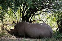 White Rhinoceros resting in the Masai Mara reserve in Kenya Africa