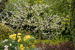 Halesia carolina syn. H. tetraptera in blossom - Snowdrop tree, Silver bell