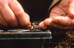 Sowing seed in modules<br /> Sowing the seed individually