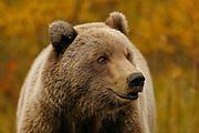 Grizzly Bear (interior Alaska), Ursus arctos; portrait, autumn, alpine tundra, hibernates in winter, Denali National Park, Alaska, ©Craig Brandt, all rights reserved; brandt@mtaonline.net