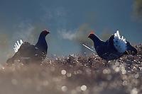 11.04.2009.Black Grouse (Tetrao tetrix) displaying on a bog. Fighting. Lekking behaviour. Courting. Expiring warm air on a cold morning. Frost..Bergslagen, Sweden.