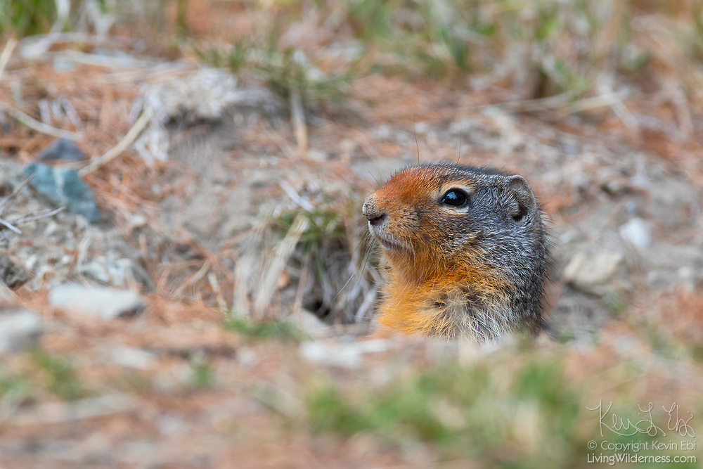 A Columbian ground squirrel (Urocitellus columbianus) looks out from its burrow in the Okanogan Highlands near Tonasket, Washington. Columbian ground squirrels spend about seven months of the year in hibernation and can use a burrow for many years.