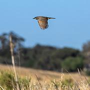 A bird takes flight near the Victory Trailhead to the Santa Monica Mountains.