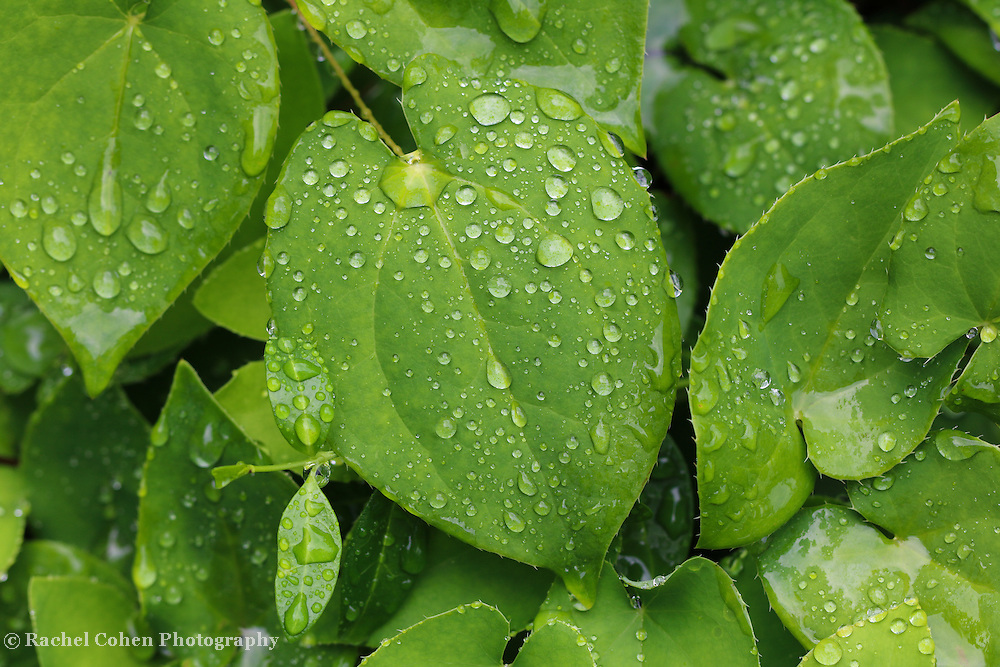 """""""Life'<br /> <br /> Beautiful lush green leaves with life giving water droplets after a spring rain!"""