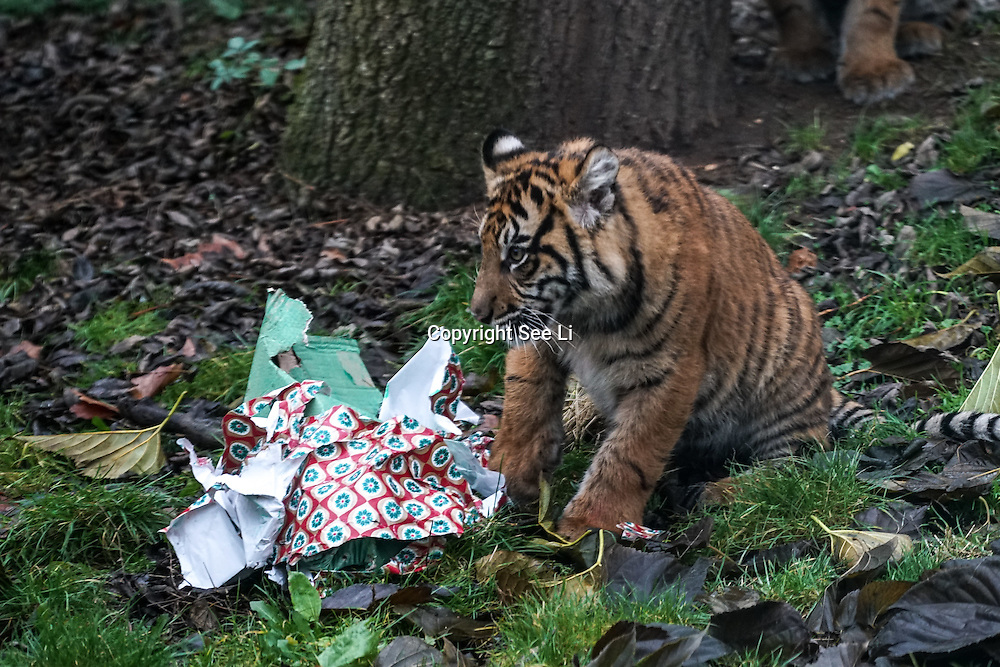 Tigers enjoy Christmas treats at ZSL London Zoo on 15th December 2016,London,UK. Photo by See Li/Picture Capital