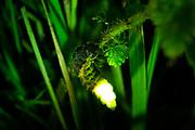Female glow worm (Lampyris noctiluca) displaying. Dorset, UK.