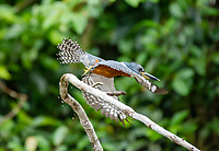 Male Ringed Kingfisher, Megaceryle torquata, flies from a branch beside the Tortuguero River (Rio Tortuguero) in Tortuguero National Park, Costa Rica