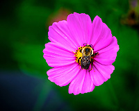Bumble Bee on a Cosmos Flower. Image taken with a Fuji X-H1 camera and 80 mm f/2.8 macro lens