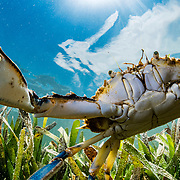 An Atlantic blue crab (Callinectes sapidus) searches for food in a seagrass meadow (Thalassia testudinum) in the Florida Keys, USA.