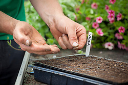 Sowing violas into a plastic module tray