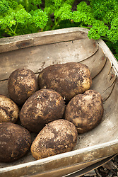 Harvested potatoes in a wooden trug