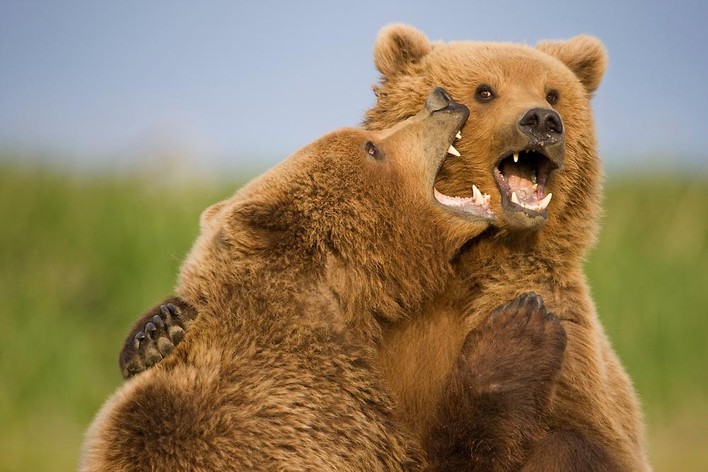 USA, Alaska, Katmai National Park, Brown Bears (Ursus arctos) sparring in meadow along Hallo Bay at sunset on summer evening