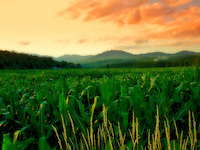 """""""Vermont Field of Dreams"""" - Looking across a corn field with mountains in background and a dramatic sky.  Soft focus effect."""