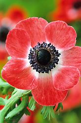 Anemone coronaria - red