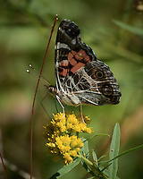 Early Autumn Butterfly at the Sourland Mountain Preserve. Image taken with a Nikon 1 V3 camera and 70-300 mm VR lens (ISO 160, 300 mm, f/8, 1/320 sec). Raw image processed with Capture One Pro (not -- had to convert the image in Lightroom to TIFF because Capture One didn't read the RAW file) - then Focus Magic, Nik Define, and Photoshop CC. <br /> <br /> I went out for a walk in the Sourland Mountain Preserve this morning looking for butterflies. This was the only one I saw. There were lots of dragonfly's, and praying mantis laying in wait for a butterfly. The real comment is that I took this image with a hand-held camera that weighs 1/10 and costs 1/10th of the kit I have used before. The image may not be as good what I could get with the full kit - but easily good enough.