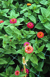 Wire mesh supporting zinnias