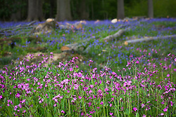 Red Campion and bluebells growing wild in a wood at Sissinghurst. Silene dioica syn.Melandrium rubrum and Hyacinthoides non-scripta