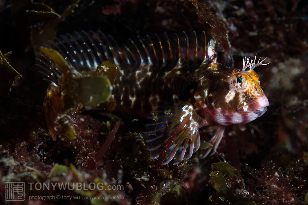 This is a well-camouflaged Yatabe blenny (Parablennius yatabei), about 9cm in length. Called Iso-Ginpo in Japanese, This species has been documented in coastal waters of Japan, Korea, Taiwan and Vietnam.