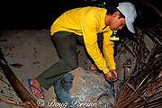ranger tags hawksbill turtle, Eretmochelys imbricata, after it has laid eggs on beach, Turtle Islands Park, Gulisaan Island, Sabah, Borneo, Malaysia  ( South China Sea )
