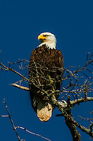 Bald eagle, Magoun Islands State Marine Park, Krestof Sound, southeast Alaska USA.