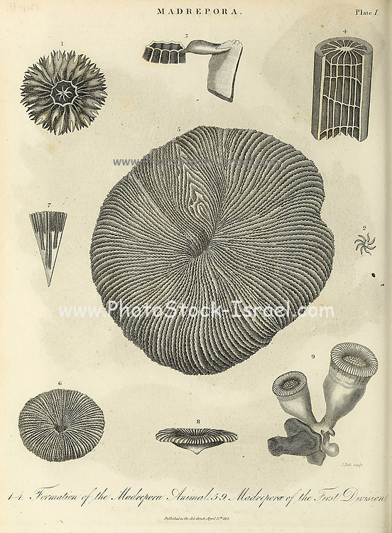 """19th century illustration of Madrepora (""""mother of pores"""") is a genus of stony corals, often found forming reefs or islands in tropical locations. The names Madrepore and Madreporaria were formerly applied universally to any stony coral of the family Scleractinia. They reproduce in three separate ways as discovered by the marine zoologist Anne Thynne (1800-1866).[2] It is commonly known as horn coral. colony is branched with small polyps in cylindrical cups separated by perforated coenosteum. Terminal polyp bear six tentacles, while lateral polyps bear tweve tentacles. Madrepora is economically important because it takes part in the formation of coral reefs. Copperplate engraving From the Encyclopaedia Londinensis or, Universal dictionary of arts, sciences, and literature; Volume XIV;  Edited by Wilkes, John. Published in London in 1816"""