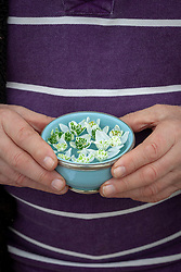 Holding a bowl of floating double snowdrop flowers