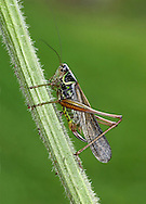 Roesel's Bush Cricket - Metrioptera roeselii<br /> macropterous form