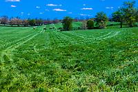 Thoroughbred horses in pasture, Winstar Farm, Versailles (Lexington), Kentucky USA.