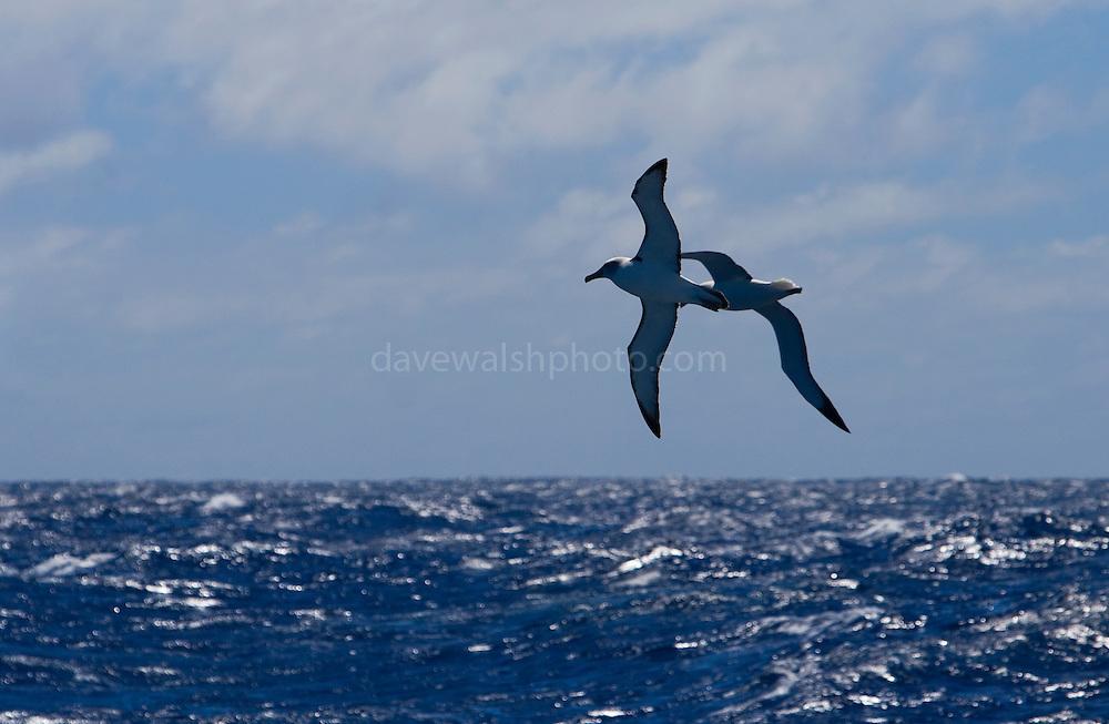 Salvin's Albatross or mollymawk, Southern Ocean, Thalassarche salvini