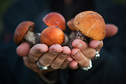 Liana Welty holds out Boletus mushrooms she picked, with permission, on the grounds of the Alaska Halfway House B&B, in Chokosna, 27 miles up the McCarthy Road into Wrangell-St. Elias National Park, Alaska. A historically wet summer in 2010 made for an epic mushroom hunting season.