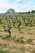 guyot trained vines old vine ch moulin du cadet saint emilion bordeaux france