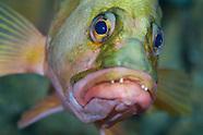 Hypoplectrodes coronatus (Eyebrow perch