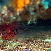 Rough Fileclam Closeup, Oro Verde, Shipwreck, Grand Cayman