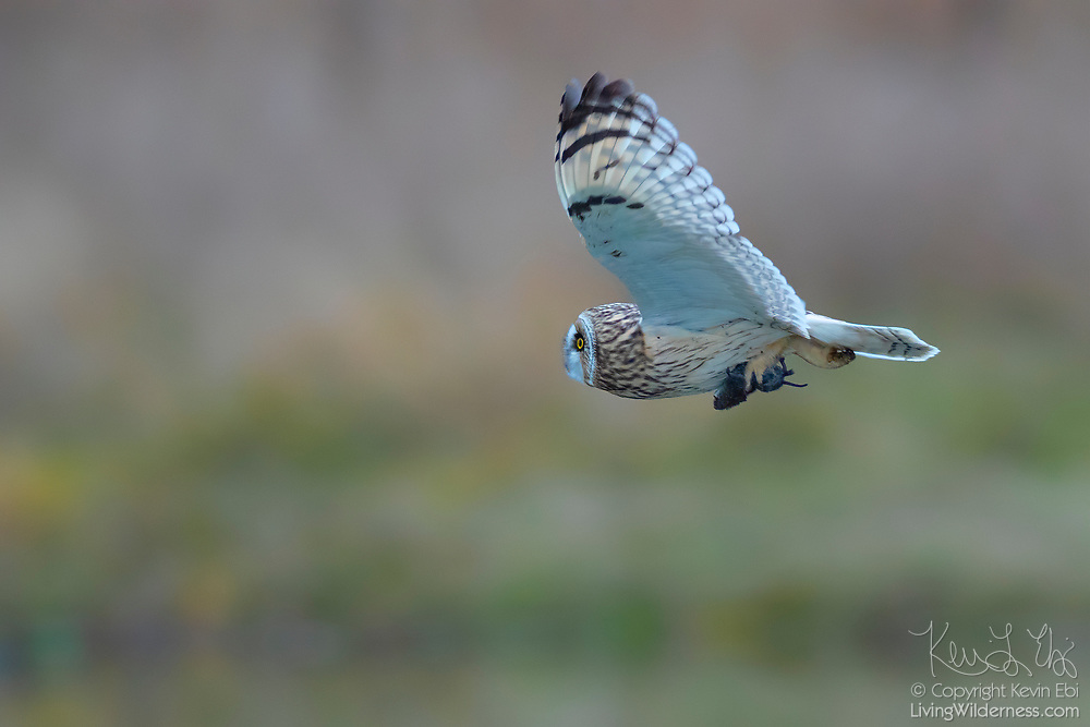 A short-eared owl (Asio flammeus) flies with a vole that it caught in a field on Leque Island near Stanwood, Washington. The short-eared owl is found over much of North America. It hunts over open fields and grasslands, diving to catch small mammals and birds.