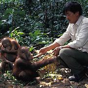 Orangutan, (Pongo pygmaeus) Ranger feeding juveniles in nursery at Sepilok Forest Rehabilitaion Center. Borneo. Malaysia. Controlled Conditons.