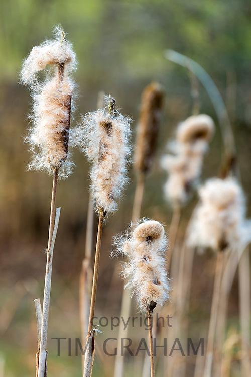 Seed dispersal of bullrush a sedge grass, Cyperaceae, in wetland in United Kingdom