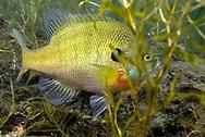 Bluegill Sunfish<br /> <br /> Engbretson Underwater Photography