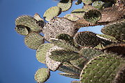 Cactus plants, Rabida Island, Isabella, Galapagos, Ecuador, South America