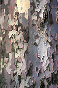 Close up of London Plane Tree Bark, UK, family Platanaceae, particularly tolerant of urban conditions