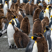 An adult king penguin feeds its chick in a massive breeding colony at Gold Harbour on South Georgia Island.