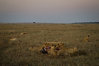 Lions feeding on a wildebeest kill at dawn in the Masai Mara National Park, Kenya