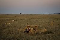 Lions feeding on a wildebeest kill at dawn in the Masai Mara National Park, Kenya