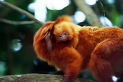 Only the first two weeks of its life a young Golden Lion Tamarin (Leontopithecus rosalia) is carried exclusively by its mother before the other members of the group start to share this task. This several week old baby clings tight to the back of its father. | Während der ersten zwei Lebenswochen wird ein junges Löwenäffchen (Leontopithecus rosalia) nur von der Mutter getragen, danach teilen sich die Gruppenmitglieder diese Aufgabe. Dieses mehrere Wochen alte Jungtier klammert sich fest an den Rücken seines Vaters.